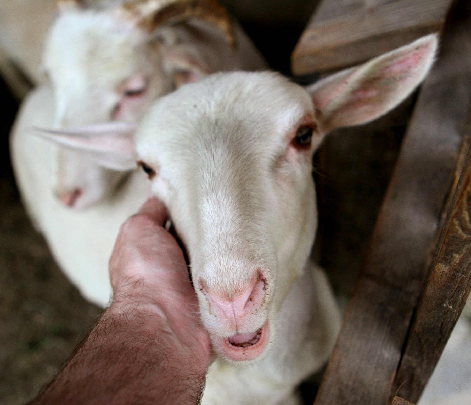 Das weisse Lamm ist das Symbol der Unschuld