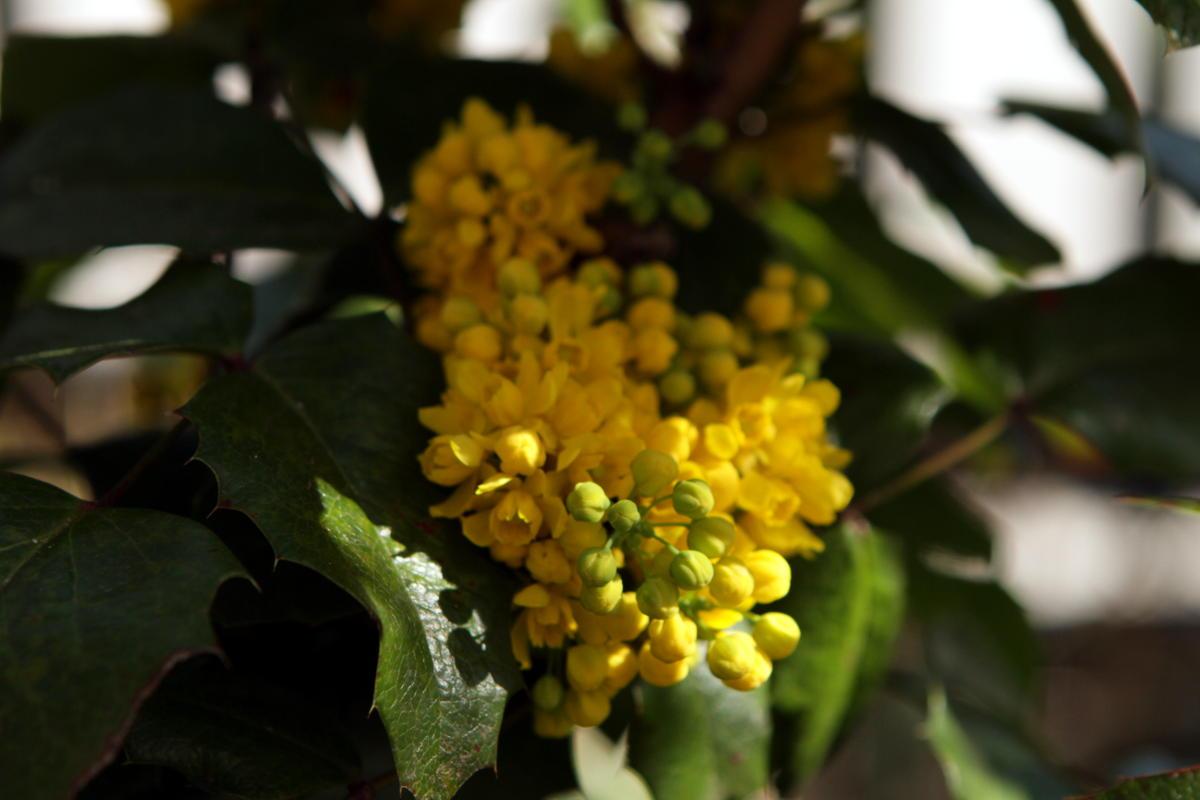 Mahonienblüte