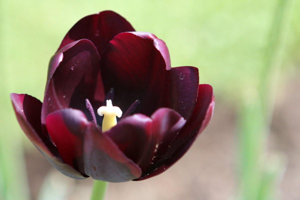Aubergine, dunklelviolette Tulpe