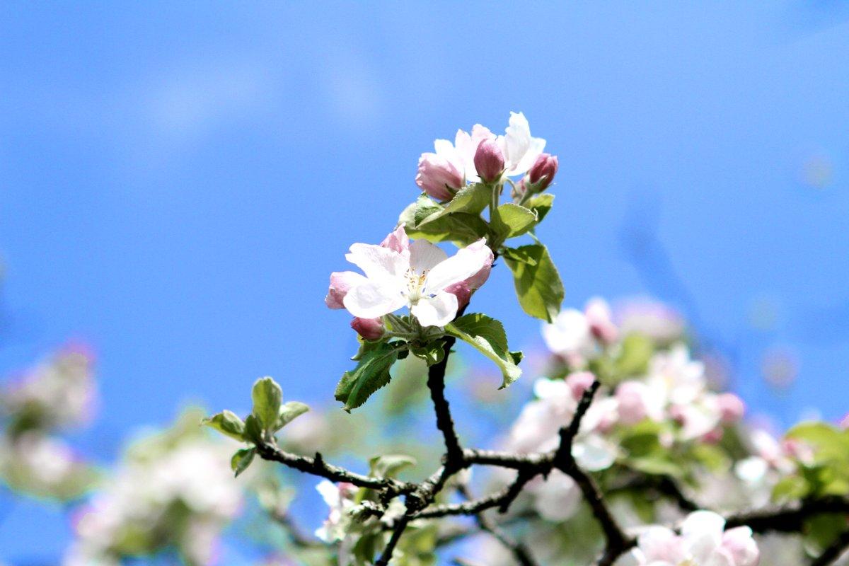 Blüten auf dem Apfelbaum