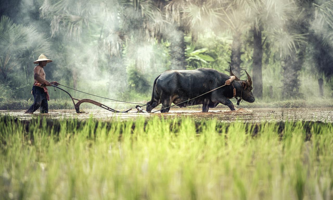 Bauer mit Wasserbüffel in Thailand