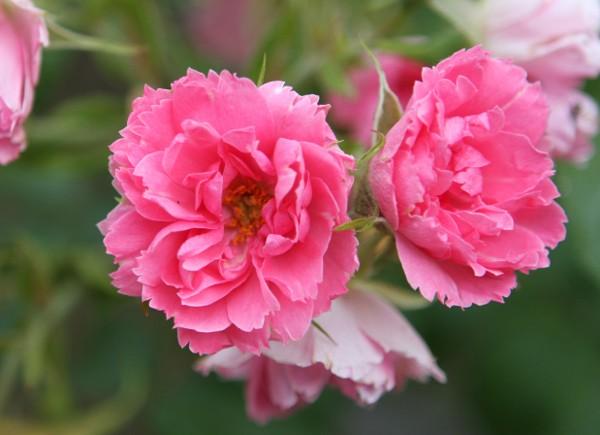 Rosen in der Farbe Rosa