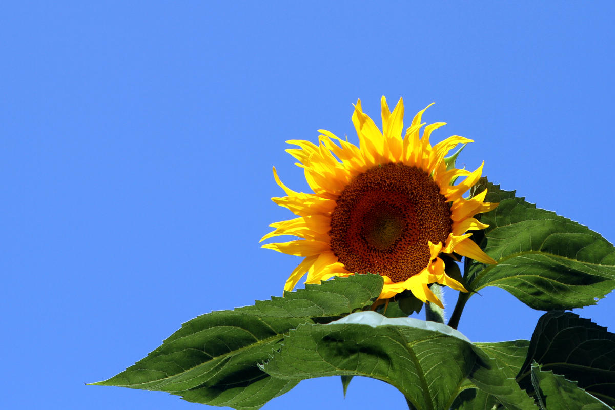 Große Sonnenblume
